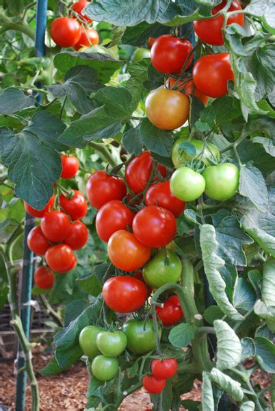how to grow tomatoes how to grow vegetables without toxic chemicals growing vegetables organically