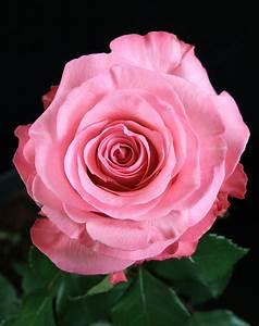 Conquista Rose