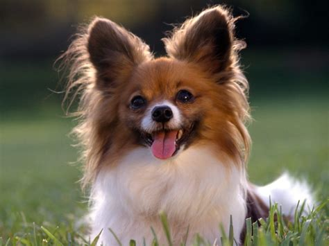 Cute Dogs: Papillon dog