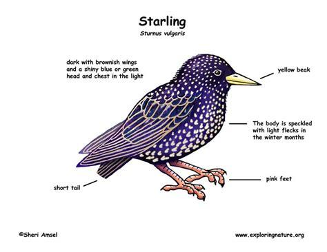 starling exploring nature educational resource