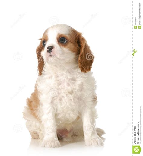 Cute Puppy Stock Photo  Image 36129470