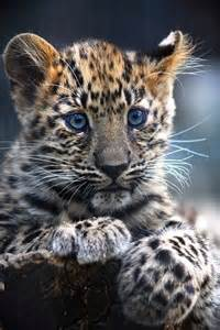 Leopard Cubs with Blue Eyes