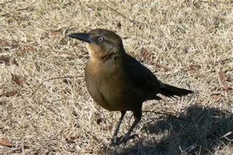 grackle control how to get rid of grackles starling