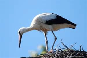 photo white stork