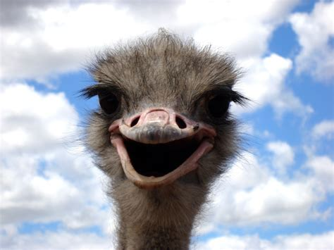 funny ostrich facial expression image  stock photo
