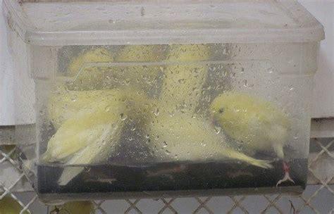 baignoire mon 233 levage de canaris de couleur