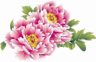 Chinese Flower Peony China National Flowers Moutan