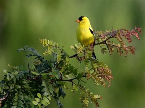 The Charmed Life Yellow Birds Of Spring On A (nearly