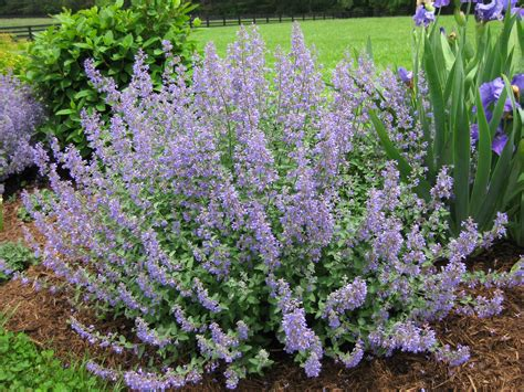 catmint flower catmint a must have perennial piedmont master gardeners