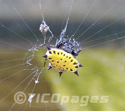 spiders  costa rica nicoya peninsula wildlife guide