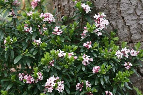 Fragrant Spring Flowering Shrubs  Garden Inspiration