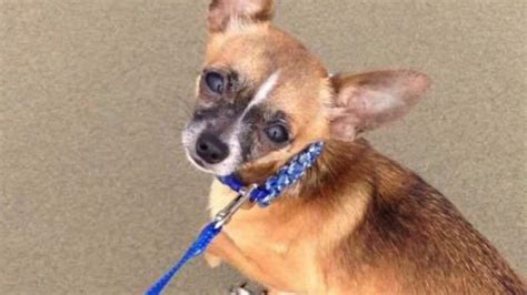 chihuahua dies  attack  eugene dog park kval