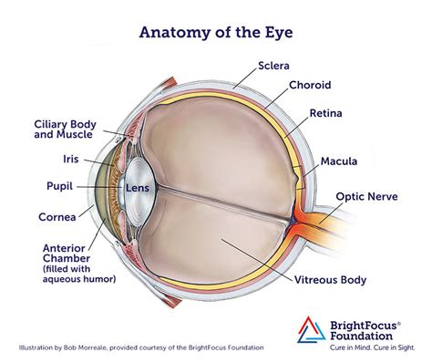 what part of the eye has color anatomy and structure of the eye brightfocus foundation