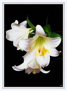 Lilie Topfpflanze Kaufen : weisse lilie foto bild pflanzen pilze flechten ~ Lizthompson.info Haus und Dekorationen