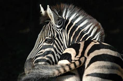 photo zebra stripes animal ruminant  image