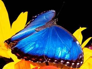 Imagenes de la mariposa Morpho Azul :: Imágenes y fotos