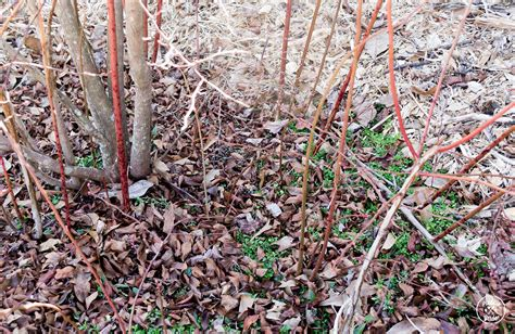 pruning bushes why you should prune blueberries bushes