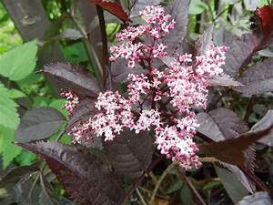 Holunder Black Beauty Essbar : wildobstschnecke sambucus nigra black beauty gerda s ~ Michelbontemps.com Haus und Dekorationen