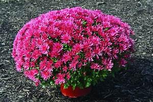 Dendranthema Hybride Balkon : chrysanthemum species and hybrids ~ Lizthompson.info Haus und Dekorationen