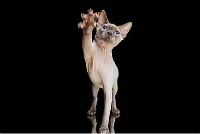 Cat Paws Sphynx Hairless Wallpapers Cats Desktop