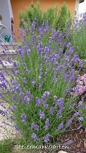 Pflege Von Lavendel : 2016 steiermarkgarten ~ Lizthompson.info Haus und Dekorationen