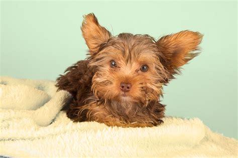 Yorkshire Terrier Zubehör Kaufen