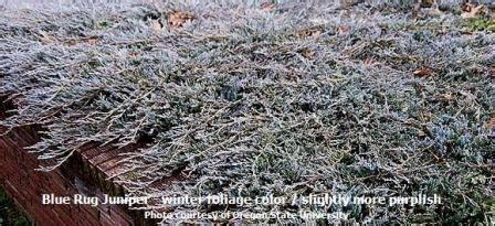 blue rug wiltoni juniper