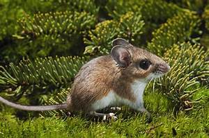 Deer Mice and Other Disease-Carrying Mice Can Be Deadly