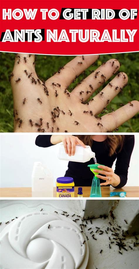 how to get rid of ants in the house how to get rid of ants naturally baking soda