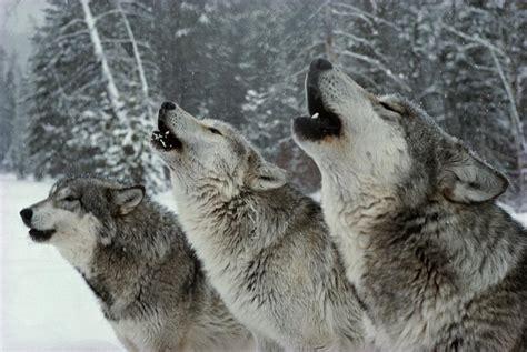 Grey Wolf Howling at Moon