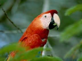 Tropical Rainforest Animals Macaw