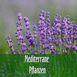 Mediterrane Pflanzen Liste : bambus kaufen bambuspflanzen als sichtschutz ~ Watch28wear.com Haus und Dekorationen