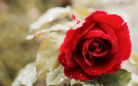 Beautiful Red Rose 4k Wallpapers