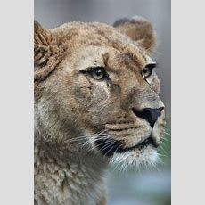 Lioness (panthera Leo)  Arab Muslim Israeli Lioness