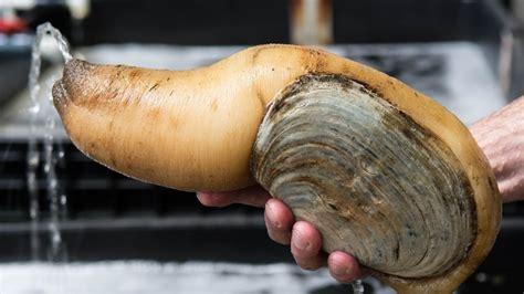 kerang geoduck моллюск гуидак геодук уличная еда японии