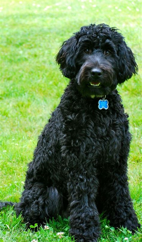 84 best portuguese water dogs images on pinterest