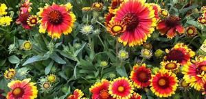 Arbuste Plein Soleil Longue Floraison : arbuste de rocaille plein soleil abelia edward goucher ~ Premium-room.com Idées de Décoration