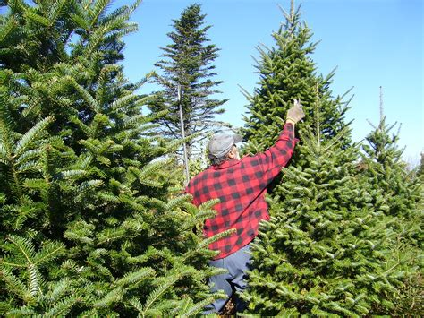 tree production in canada - Canadian Christmas Wikipedia