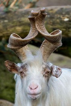 markhor   large species  wild goat