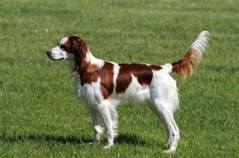 white setter shedding and white setter breed information and facts