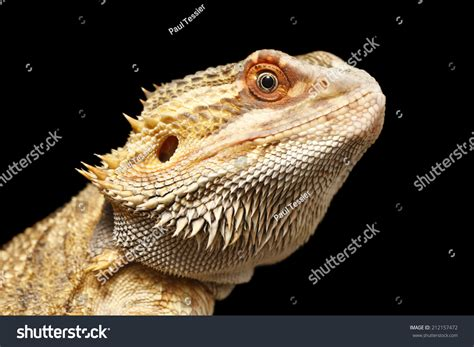 close head shot bearded dragon stock photo 212157472