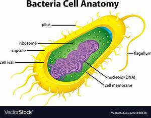 Bacteria Cell Structure Royalty Free Vector Image