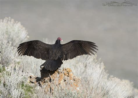 Turkey Vulture Images Turkey Vulture Images Mcpherson S On The Wing