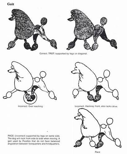 Poodle Standard Structure Explained Poodles Dogs Bijoupoodles
