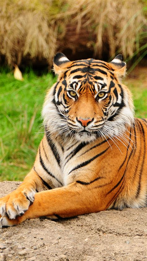 Tiger Best Htc One Wallpapers Free Easy Download