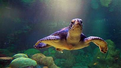 Turtle Sea Backgrounds Wallpapers Wallpapersafari Diving