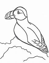 Puffin Coloring Pages Drawing Puffins Print Printable Sheet Literacy Atlantic Line Drawings Animals Clipart Animal Games Sample Lbx Getdrawings Popular sketch template
