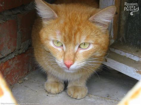 yellow eyed red mackerel tabby insolent cat russian cats