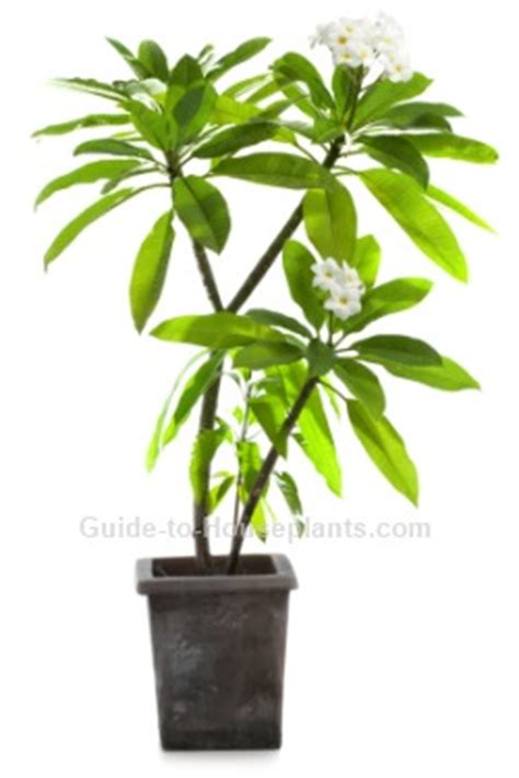 growing plumeria tips for frangipani tree care