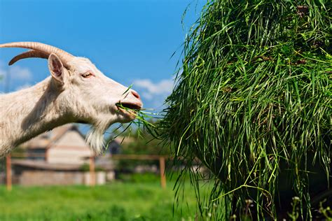 How To Feed And Tend Goats On A Small Farm